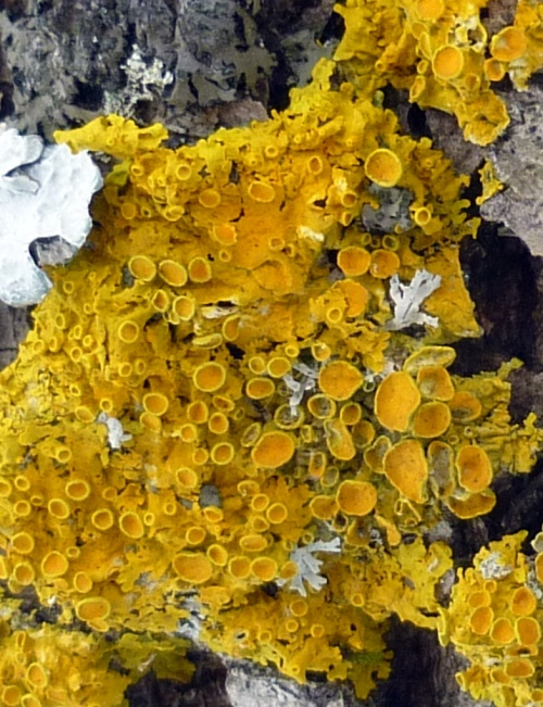 8. Poplar Sunburst Lichen aka Xanthoria hasseana
