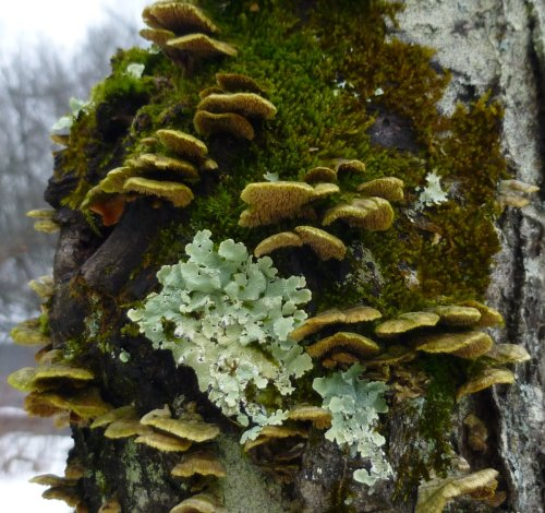 9. Toothed Fungi with Lichen and Moss