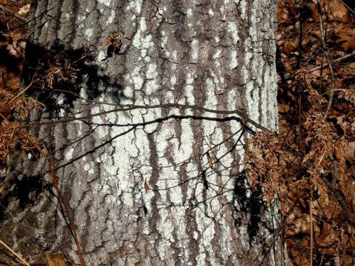 9. Whitewash Lichen aka Phlyctis argena