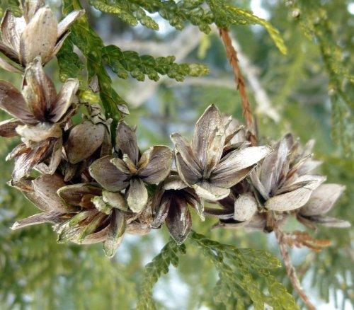 1. Arbor Vitae Seed Pods