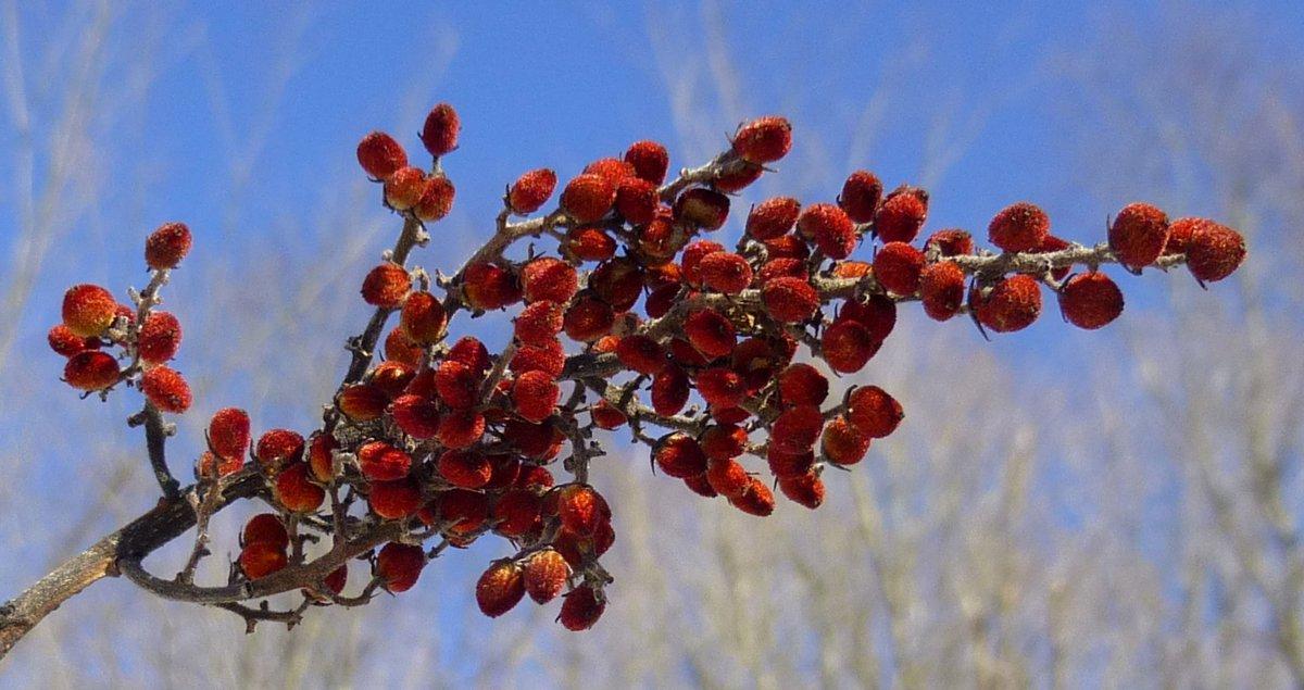 1. Smooth Sumac Berries