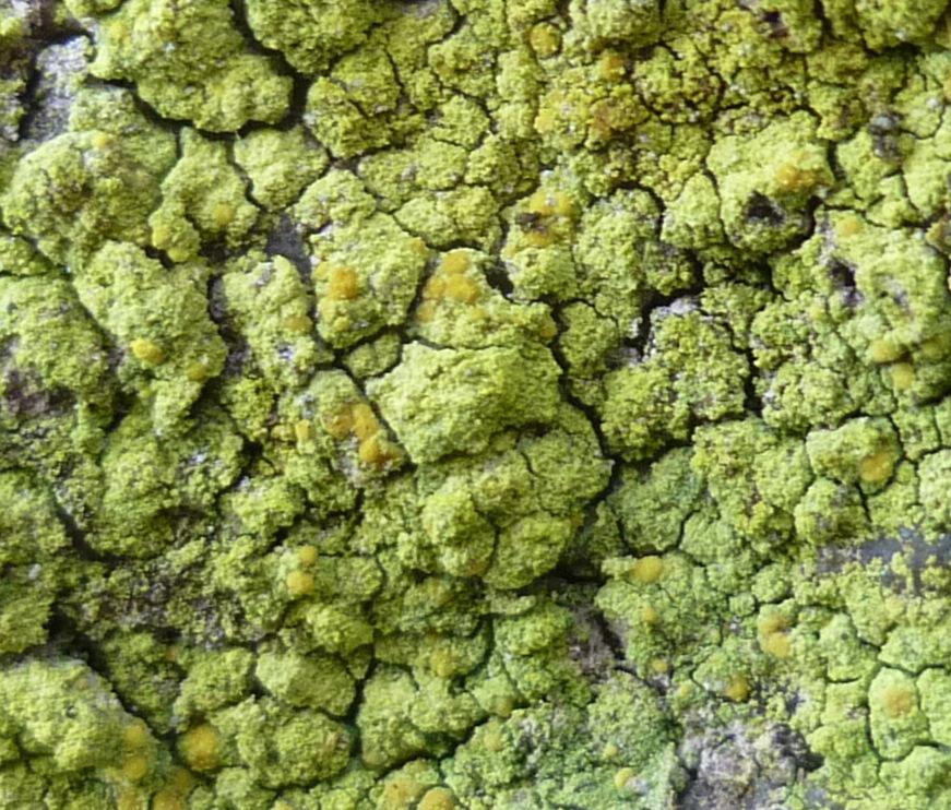 10. Sulfur Firedot Lichen aka Caloplaca flavovirescens