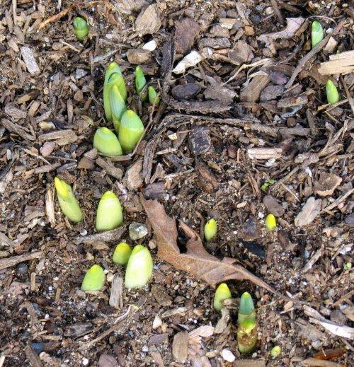 11. Daffodil Buds