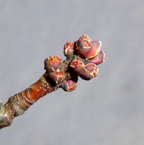 3. Red Maple Buds