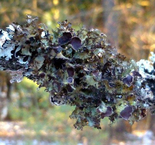 4. Fringed Wrinkle Lichen