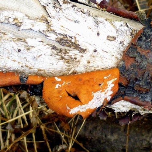 4. Inner Bark of Staghorn Sumac