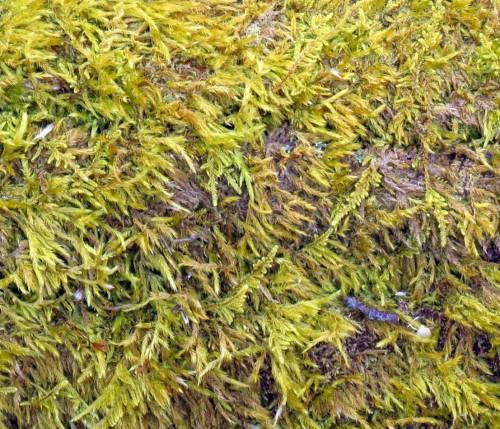 5. Brachythecium moss