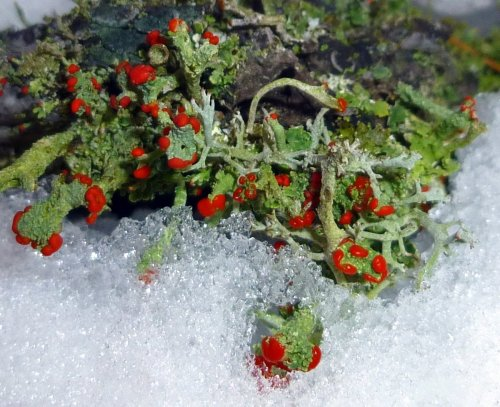 6. British Soldier Lichens