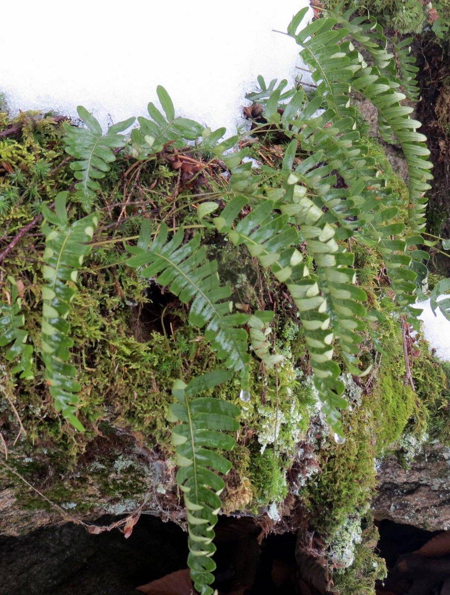 6. Polypody Ferns