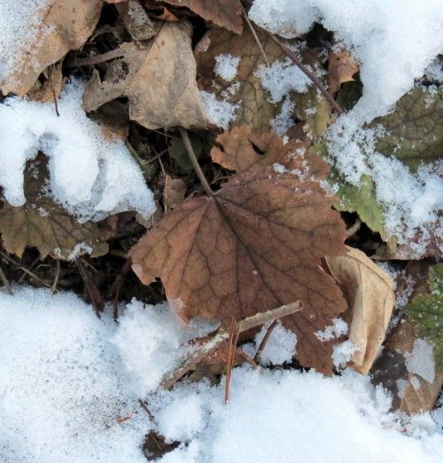 7. Foamflower Leaves