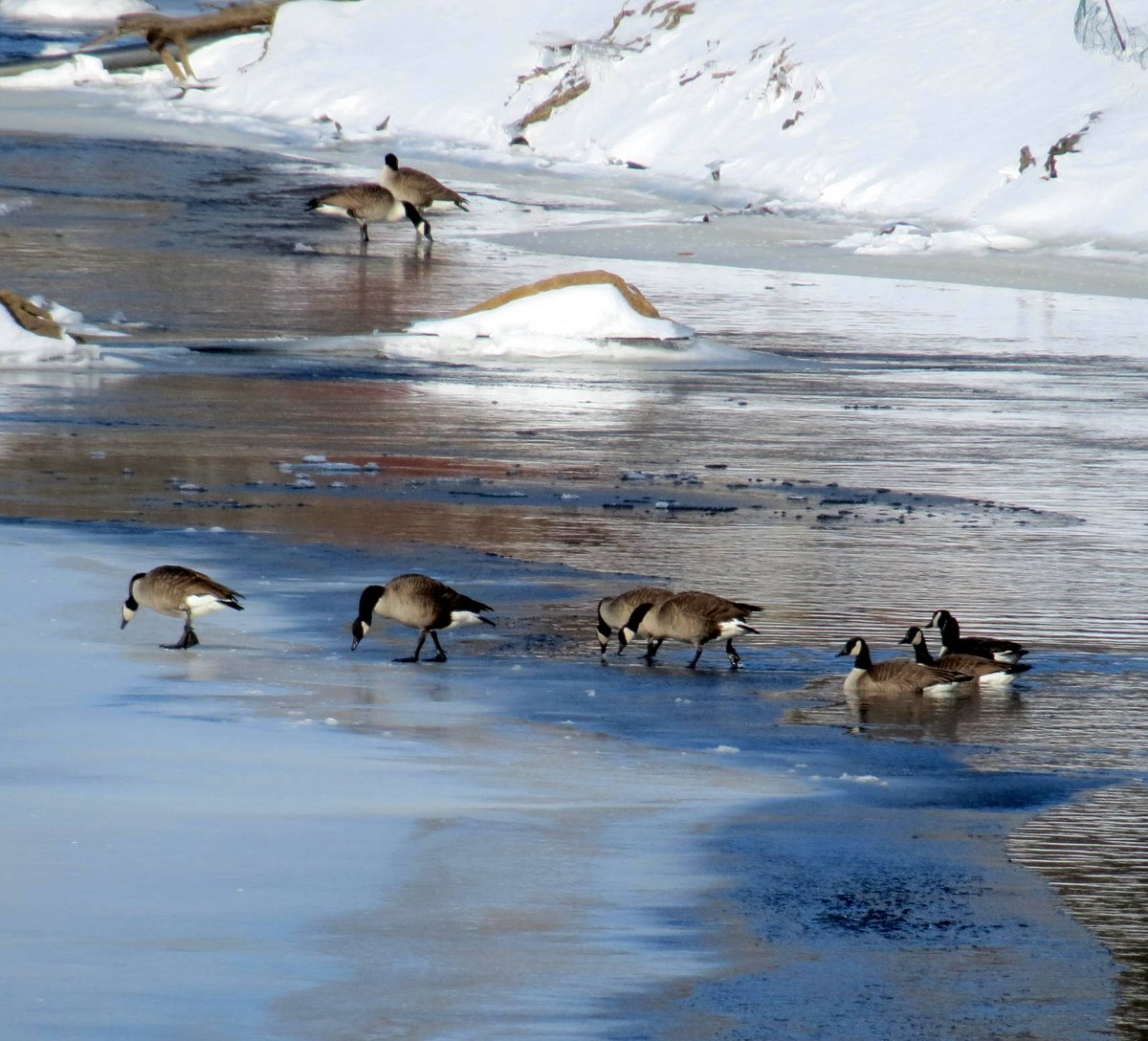 7. Geese on the River 2-9-13