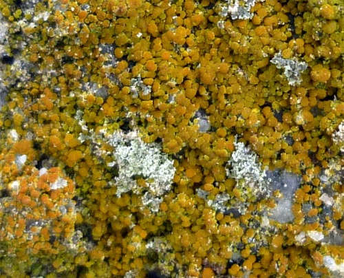 7. Orange Lichen possibly Caloplaca holocarpa