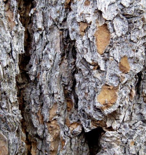 7. White Pine Bark
