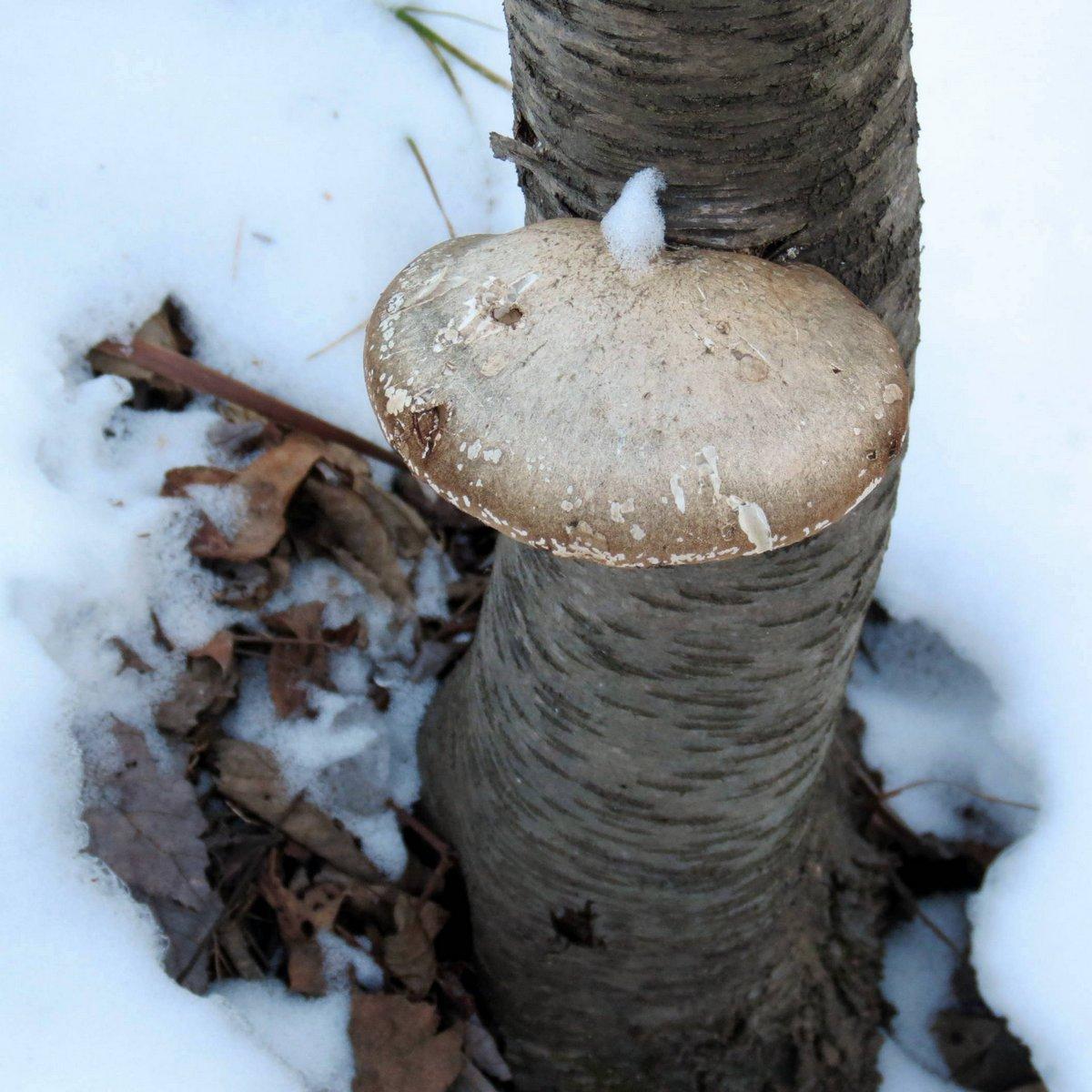8. Birch Polypore