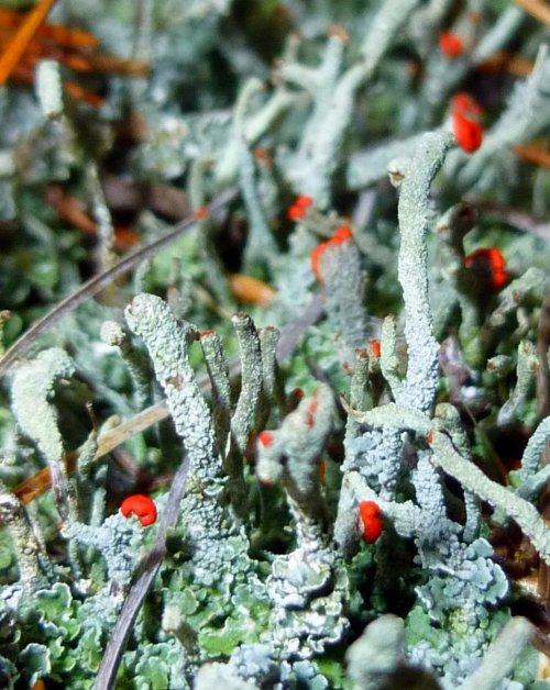 8. Lipstick Powderhorn Lichens