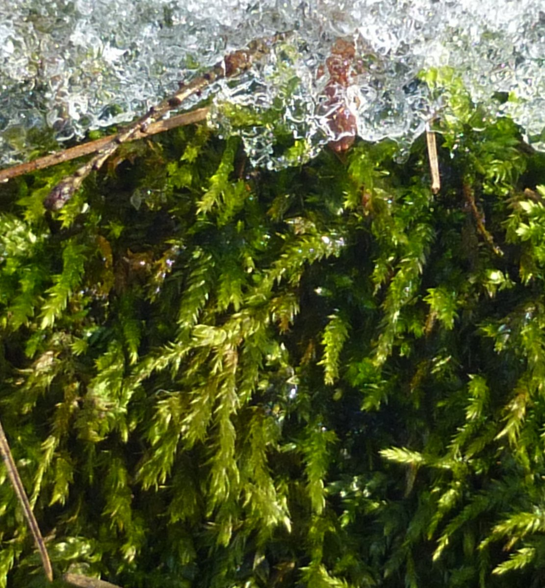 8. Moss-Possibly Hedwigia cillata