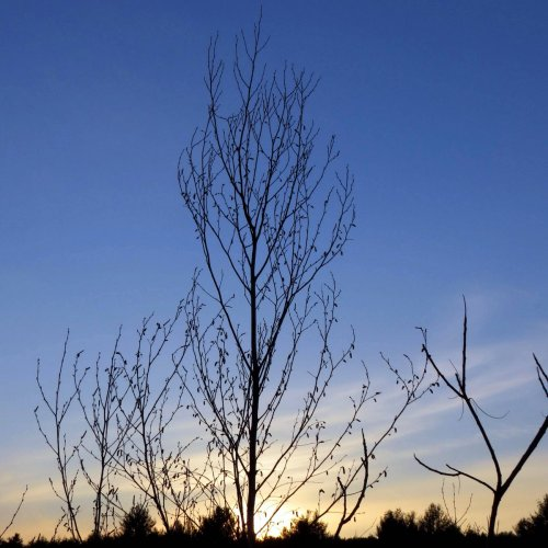 9. Birch Catkins at Sundown
