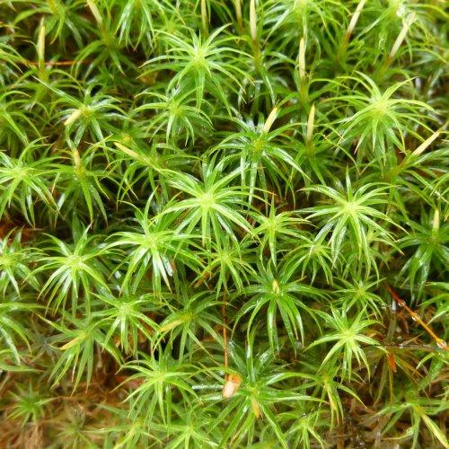 9. Hair Cap Moss aka Polytrichum