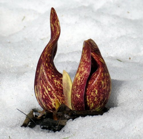 1. Skunk Cabbage in Snow