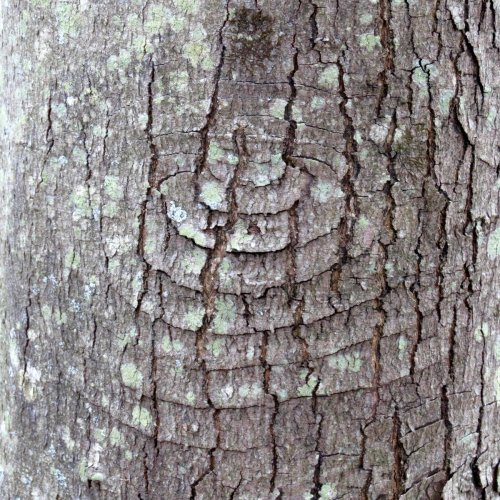 10. Pattern in Red Maple Tree Bark