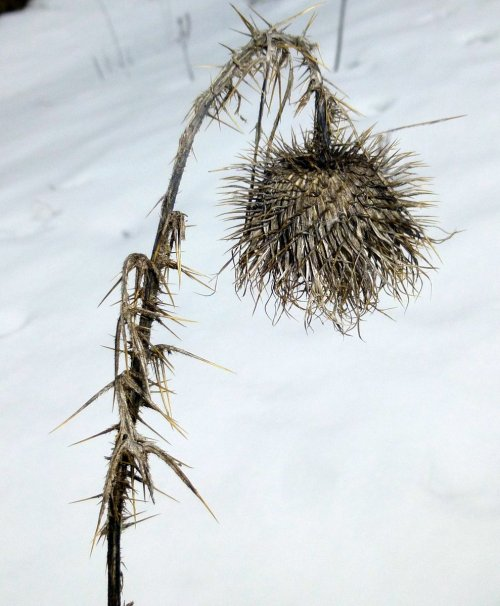 10. Thistle in Winter