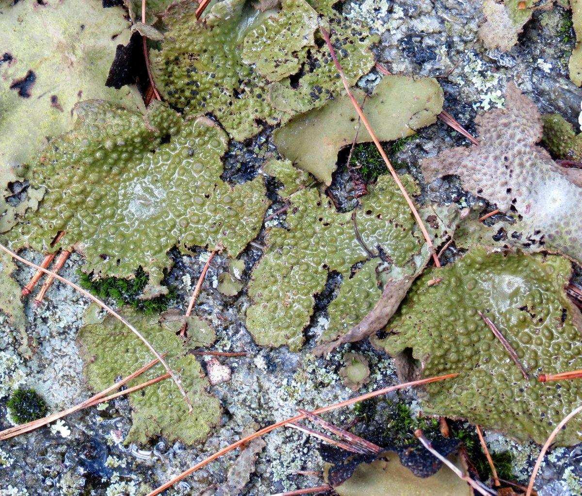 11. Common Toadskin Lichen aka Lasillia papulosa