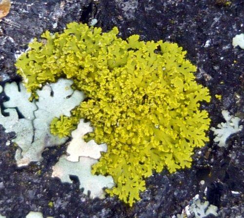 11. Powdery Sunburst Lichen
