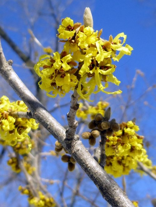 11. Vernal Witch Hazel