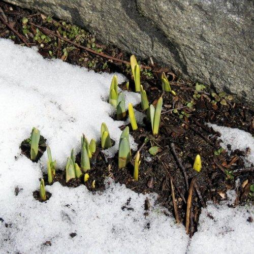 12. Daffodils