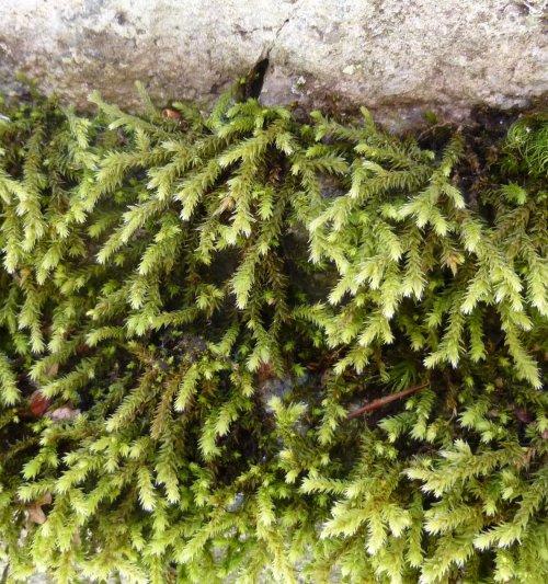 13. Hedwigia ciliata Moss