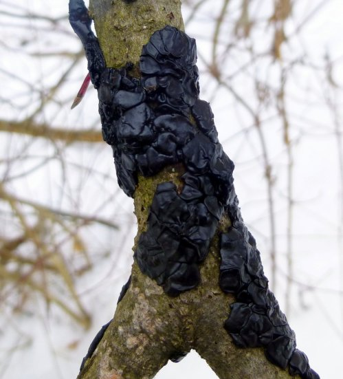 2. Black Witch's Butter