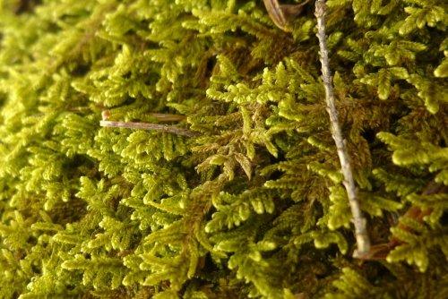 2. Lesser Plait Moss aka Hypnum pallescens