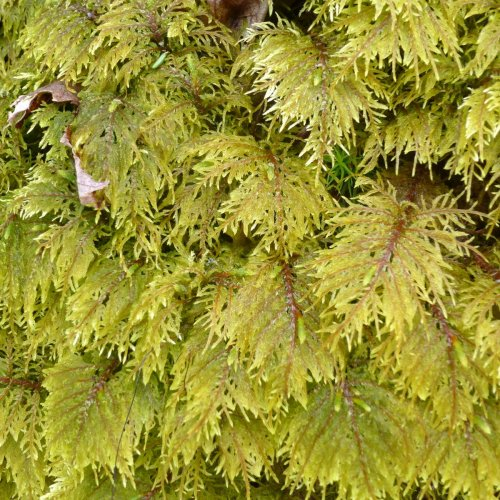 3. Fissidens adianthoides Moss