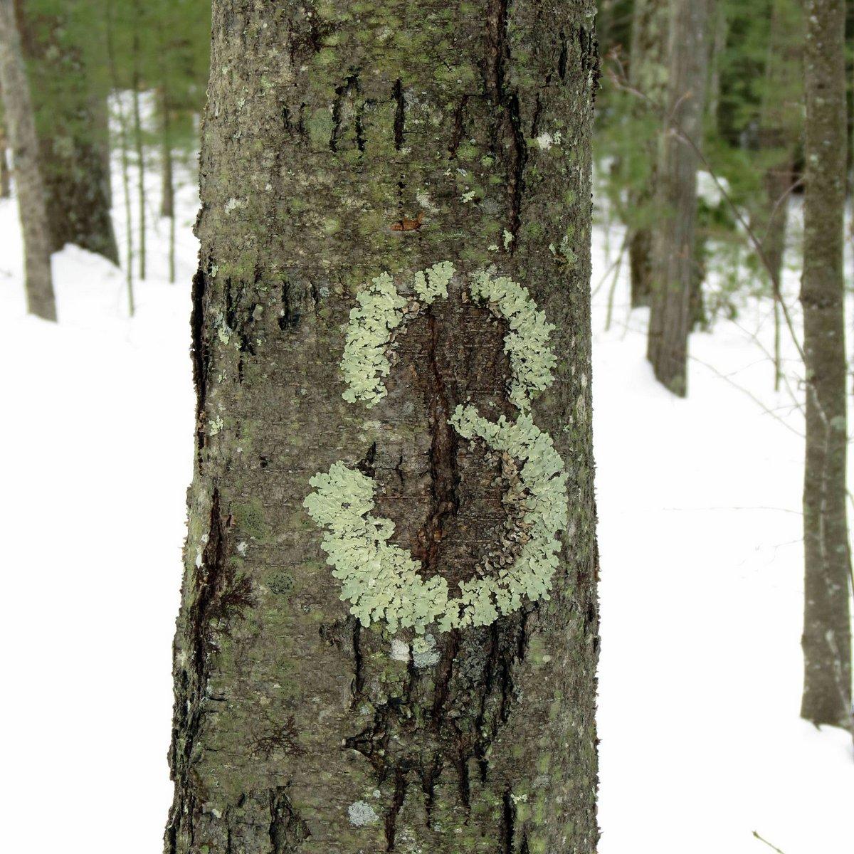 3. Lichen 3 on Tree