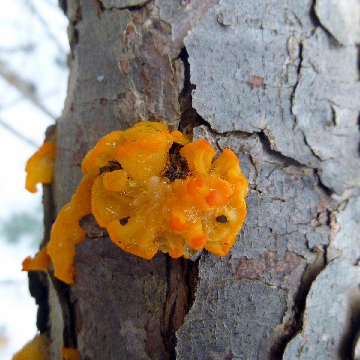 3. Orange Jelly Fungus