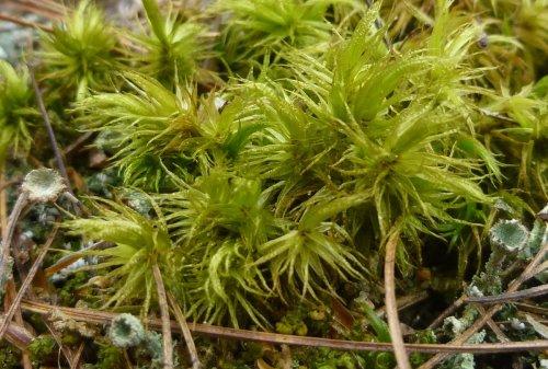 3. Wrinkled Broom Moss aka Dicranum polysetum