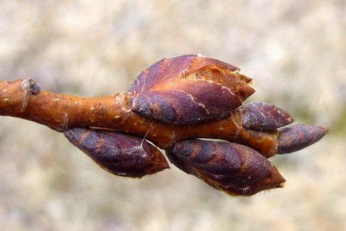 4. American Elm Buds