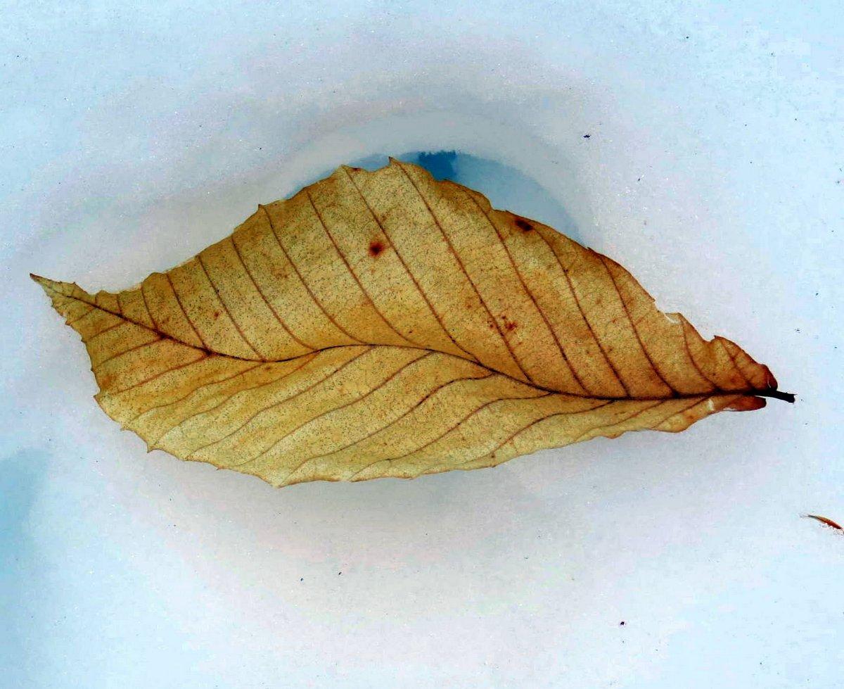 4. Beech Leaf on Snow