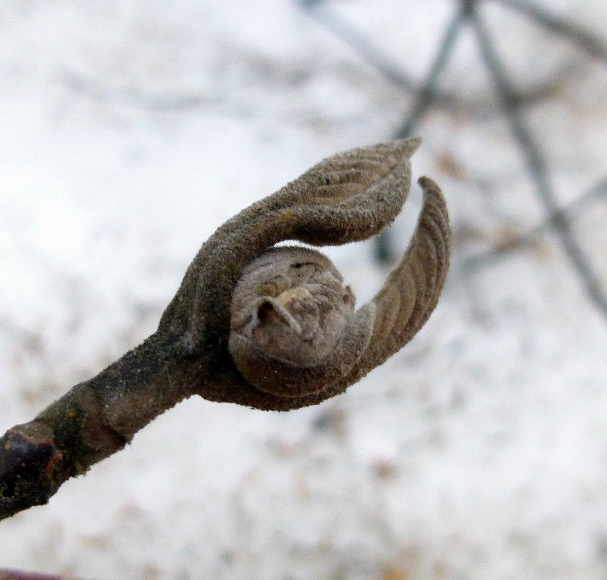 4. Hobblebush Bud aka Viburnum alnifolium