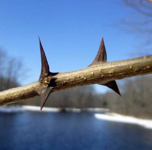 5. Black Locust Thorns