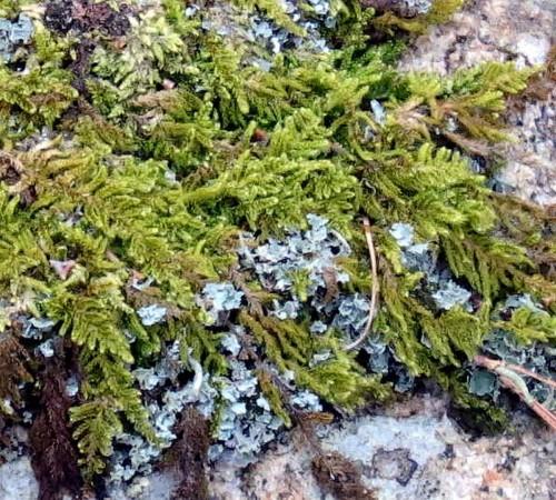 5. Brocade Moss  aka Hypnum imponens
