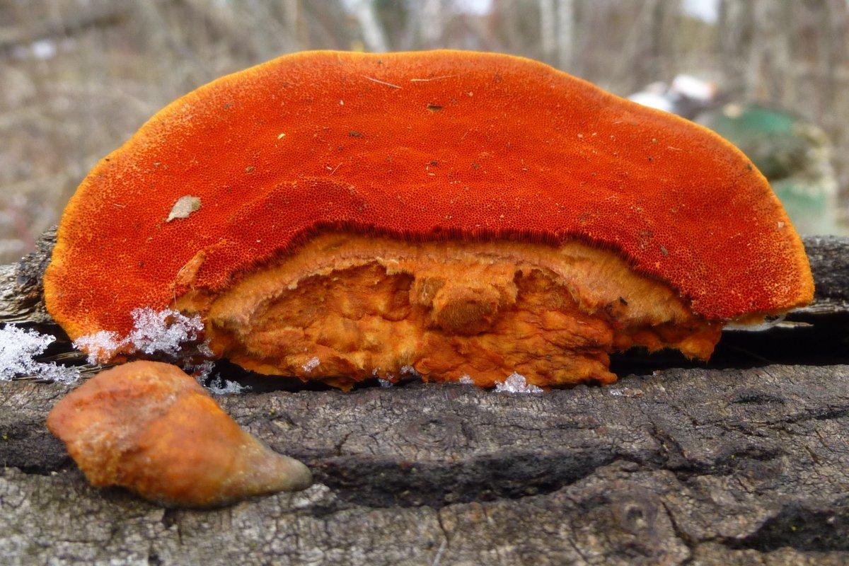 5. Cinnabar Polypore aka Pycnoporus cinnabarinus Underside
