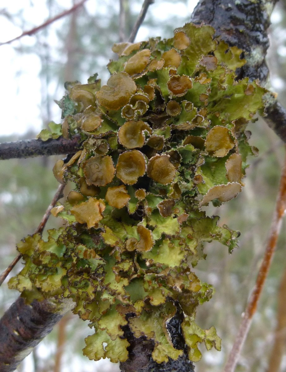 5. Spotted Camoflage Lichen aka Melanohalea olivacea