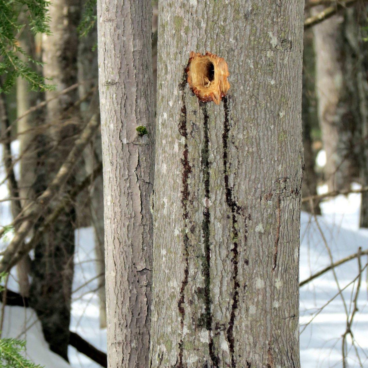 6. Bleeding Woodpecker Hole in Maple