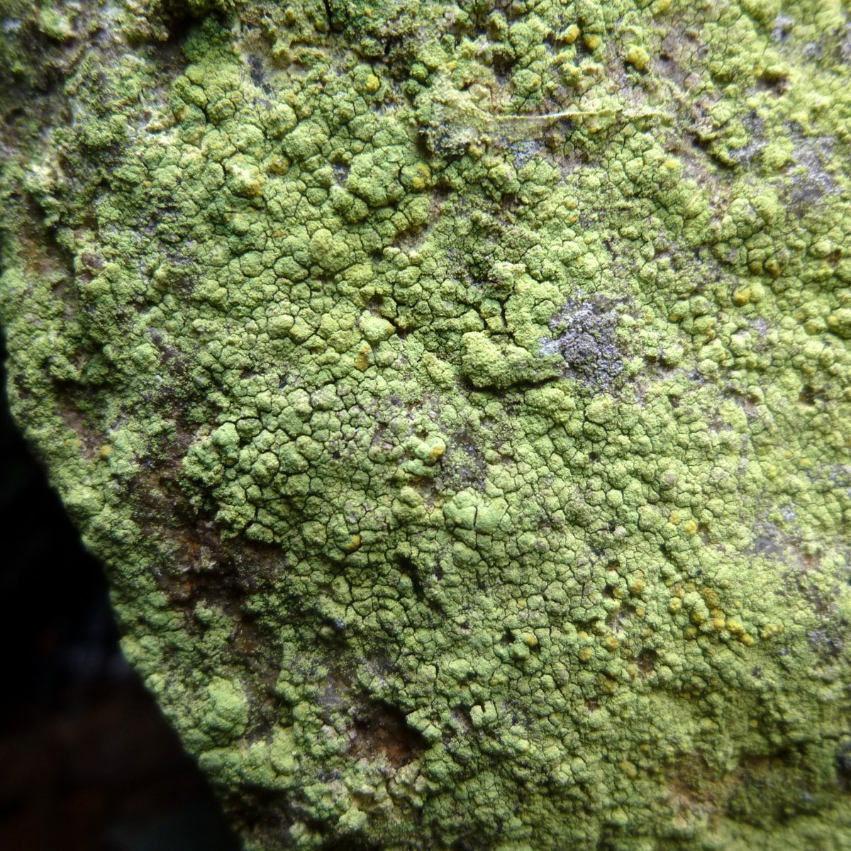 6. Common Goldspeck Lichen