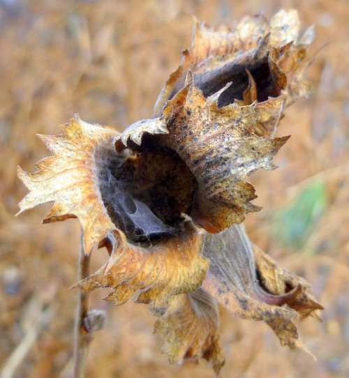 6. Hazel Nut Husks
