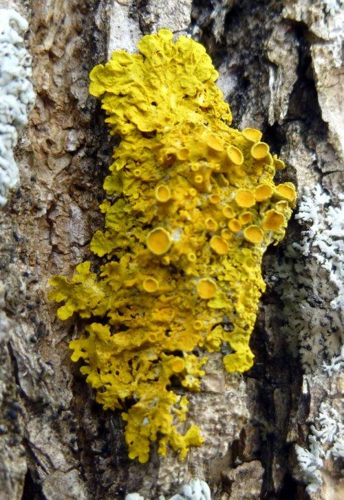 6. Poplar Sunburst Lichen