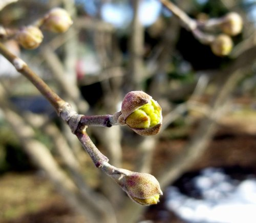 7. Cornelian Cherry Bud aka Cornus mas