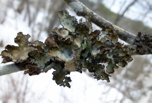 7. Fringed Wrinkle Lichen