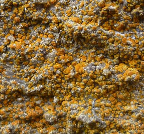 8. Sidewalk Firedot Lichen aka Caloplaca feracissima